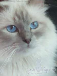 smokey my first Ragdoll Lilac lynx mitted